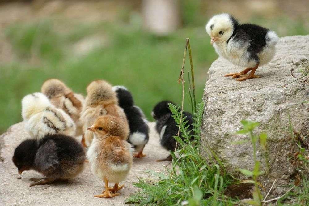 Guide d'élevage pour poussins