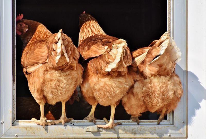 Introduction nouvelles poules dans poulailler : comment faire