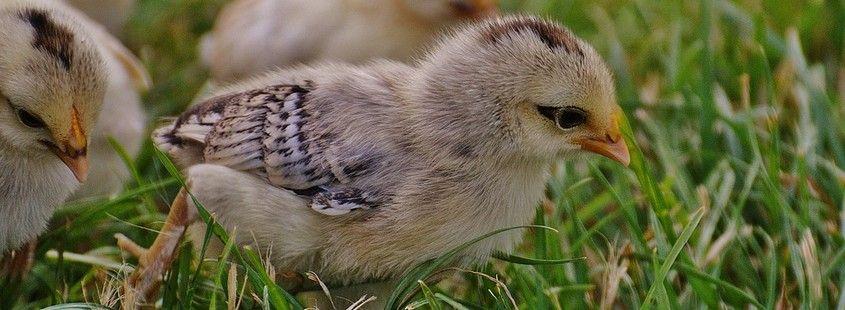 Parcours herbeux des poules et poussins