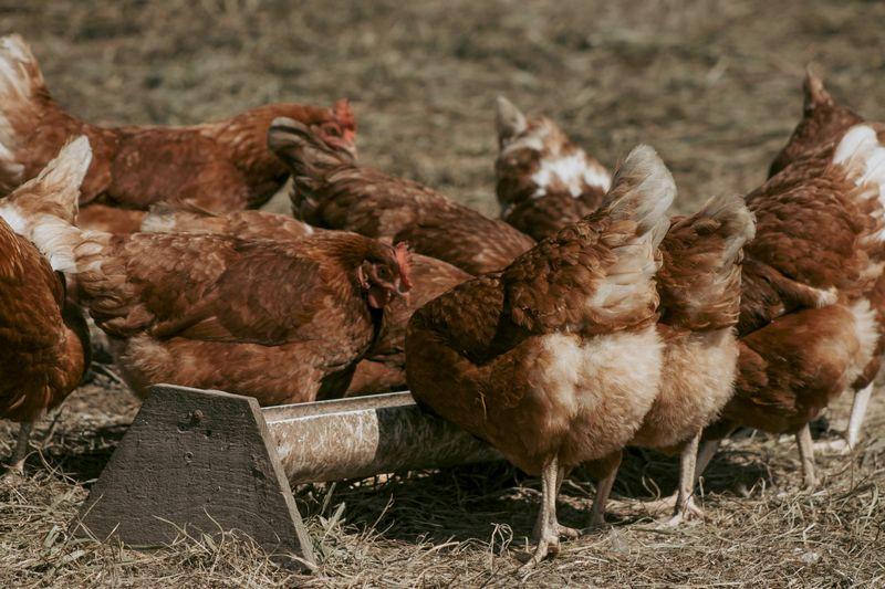 Hiver : comment protéger ses poules du froid ?