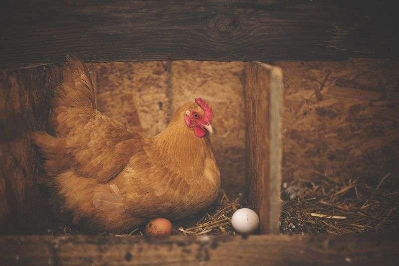 Poules pondeuses : tout savoir sur les races, leur élevage et leur alimentation