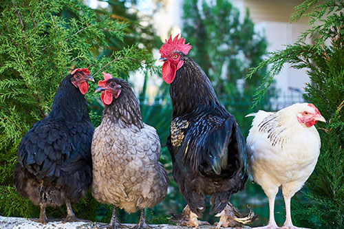 Choisir mon abreuvoir à poules