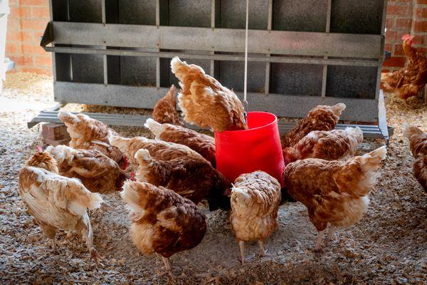 le picage entre poules à cause de l'alimentation