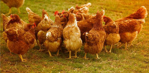 conseils pour lutter contre le picage des poules